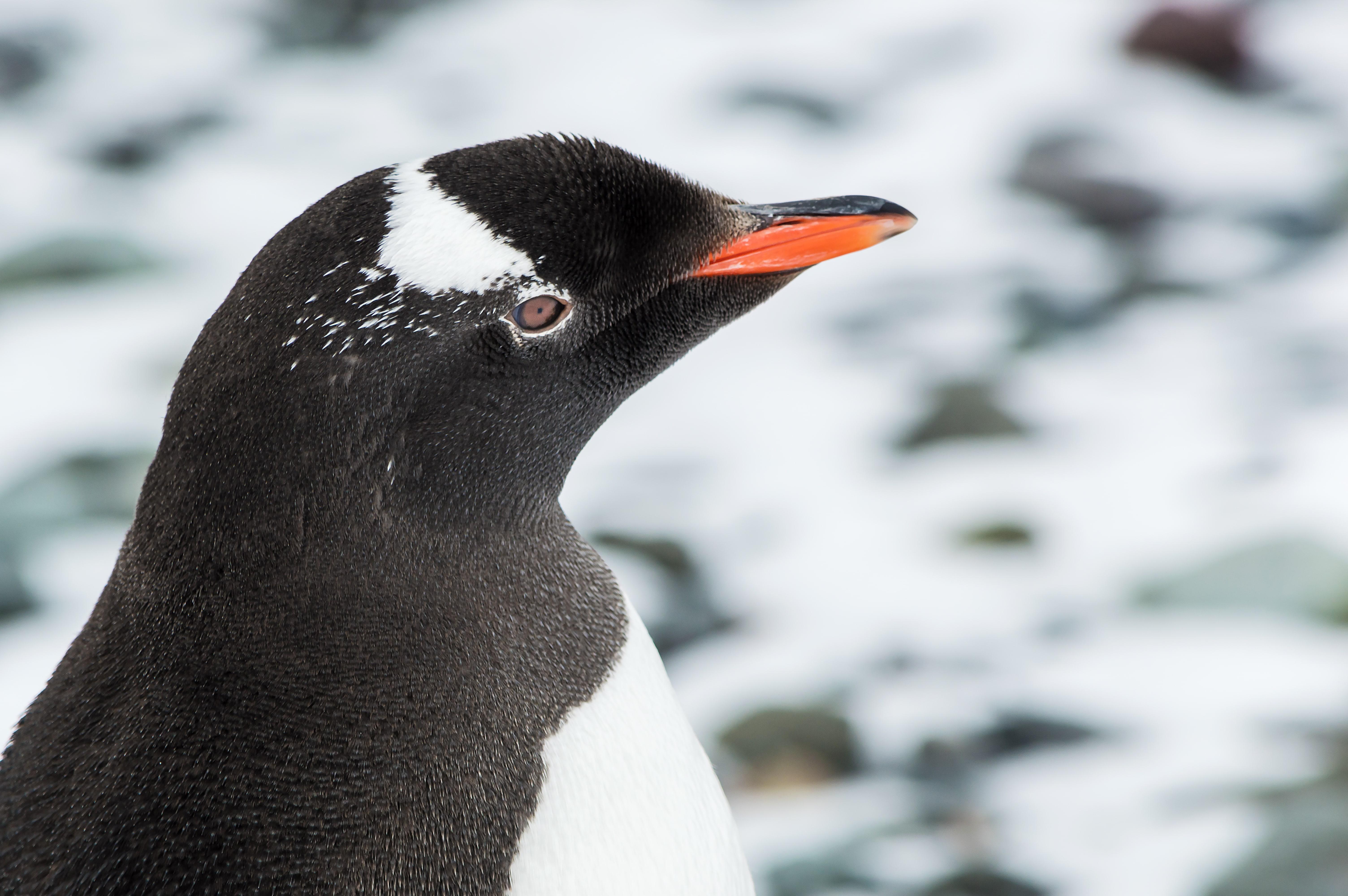 pingüino de la especie papua en la Antártida