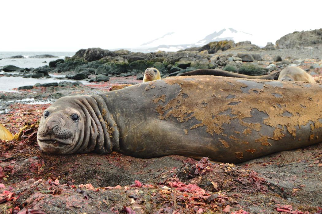 antartida lobo marino